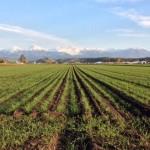美瑛の小麦畑2